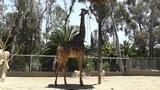 San Diego Zoo 52 giraffe Footage