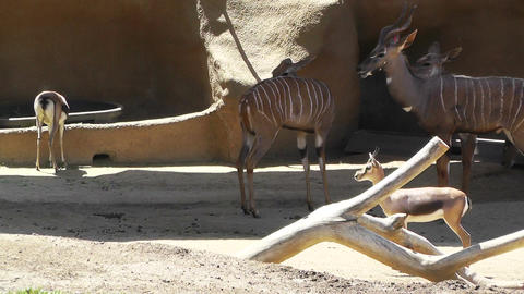 Spiral Horned Antelope Stock Video Footage