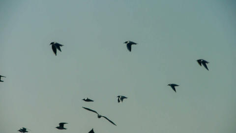 Silhouette of flock birds flying Stock Video Footage