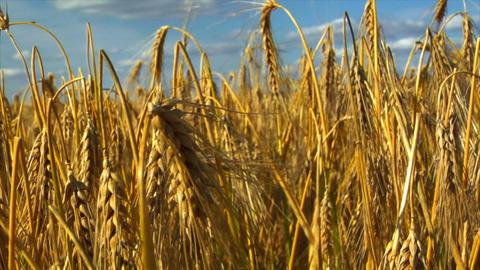 10711 dolly down in wheat rye corn field Stock Video Footage
