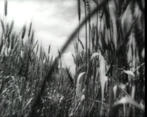 Cam passing through the rye ears, vintage bw 16mm footage Stock Video Footage