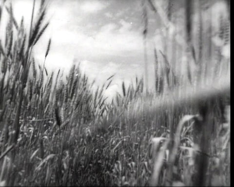Cam passing through the rye ears, vintage bw 16mm footage Footage