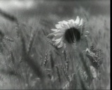 Sunflower among the rye, vintage b&w 16mm footage Stock Video Footage