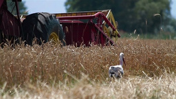 Combine harvesting ripe wheat and stork searching for food Stock Video Footage