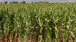 Cornfield Stock Video Footage