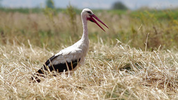 Stork standing in a harvested field Stock Video Footage