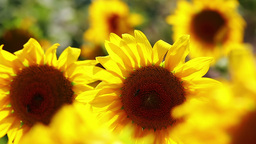 Sunflower blossoms close up Stock Video Footage