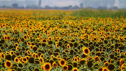 Sunflower field Stock Video Footage