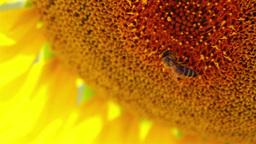 Detail of a sunflower blossom Stock Video Footage