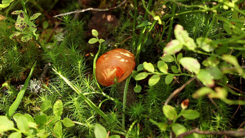 orange cap boletus Stock Video Footage