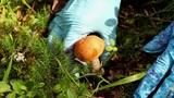 orange cap boletus Footage