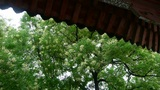 Chinese ancient building eaves under lush green trees,breeze blowing leaves Footage
