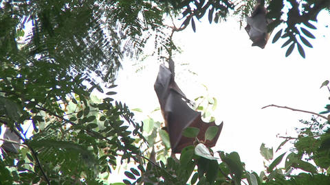 Bats Hanging on a Tree Footage