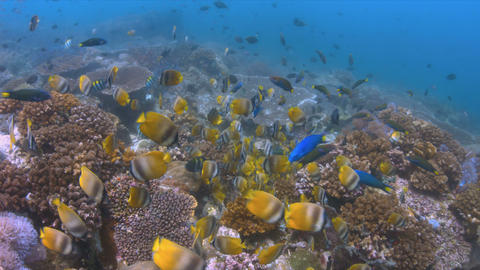 School Of Butterflyfish On A Coral Reef. 4k stock footage