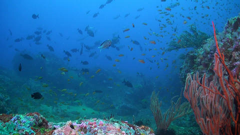 Canyon's - Coral reef in Puerto Galera Footage