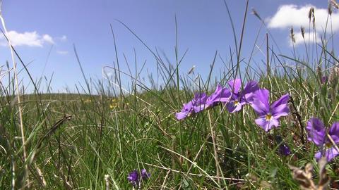 Alpine meadows with short grass and yellow and orange flowers beaten by wind 06 Footage