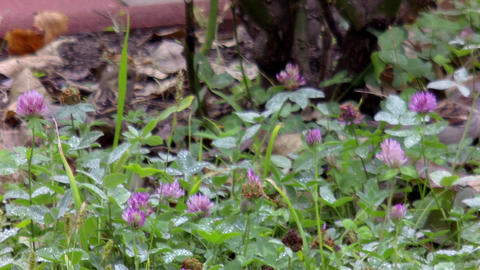 Flowered clover field and sparrows seeking food 63 Footage