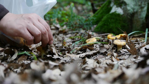 Picking wild mushrooms 15a Footage