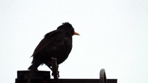 The blackbird sits on a TV antenna 491 Footage