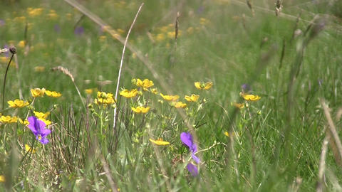 Alpine meadows with short grass and yellow and orange flowers beaten by wind 10 Footage