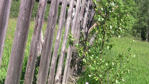 Birch who grew up near a fence old wooden 72 Footage