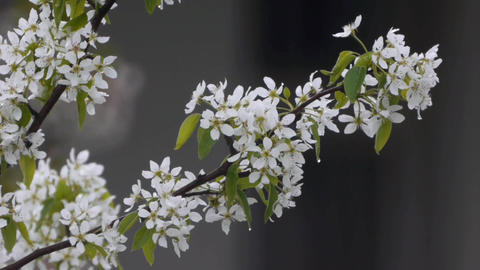 Cherry branch with white flowers in spring cold rain in the morning 128 Footage