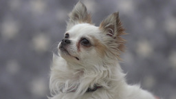 long hair chihuahua Footage