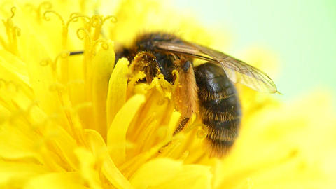 Bee pollinating flower dandelion Footage