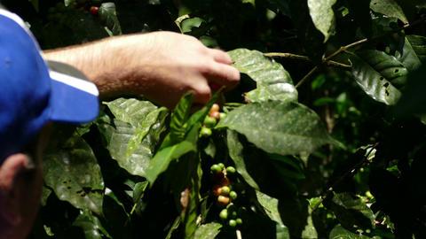 Coffee plantation Selva Negra, picking beans Live Action