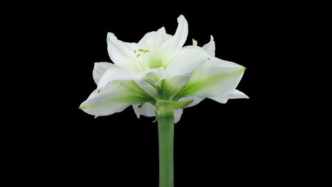 Time-lapse of opening white amaryllis Christmas flower in RGB + ALPHA matte form Footage