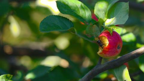 Hornet eats red apple Footage