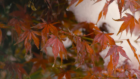 Autumn leaves and Snowfall,in Musashino,Tokyo,Japan,Filmed in 4K Footage