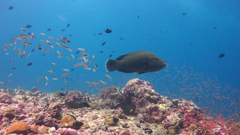 Napoleonfish. Picturesque colorful coral reef. Diving on the reefs of the Maldiv Footage