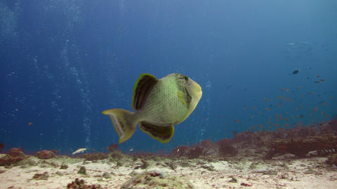 Titan triggerfish. Picturesque colorful coral reef. Diving on the reefs of the M Live Action