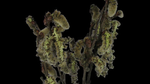 Time-lapse of growing willow catkins in RGB + ALPHA matte format Footage