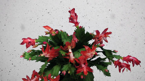 Time-lapse of growing and blooming pink Christmas cactus snowing Footage