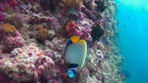 Imperial angel fish.Exciting underwater diving in the reefs of the Maldives arch Footage
