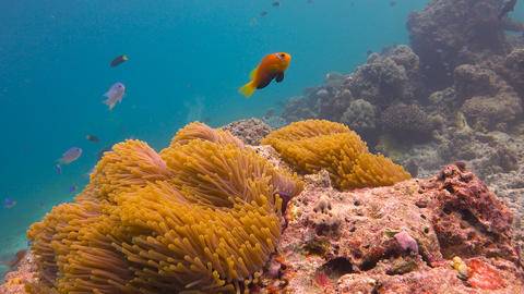 Symbiosis of clown fish and anemones. Exciting underwater diving in the reefs of Footage