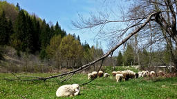 Sheeps on green meadow, picturesque landscape Footage