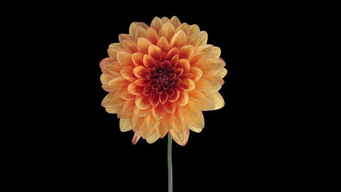 Time-lapse of opening orange dahlia in RGB + ALPHA matte format Footage