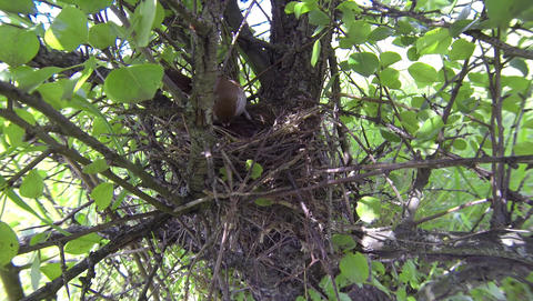 Red-backed shrike Lanius collurio female on the nest with young chicks. Сarnivo Footage