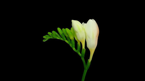 Time-lapse opening white freesia flower buds with ALPHA channel Footage