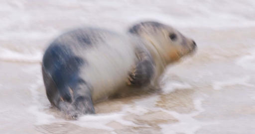Seal on the Beach of Amrum in Germany Live Action