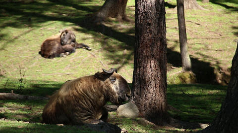 Bhutan Takine Takin animal in a forest wild and free Gnu goat Footage