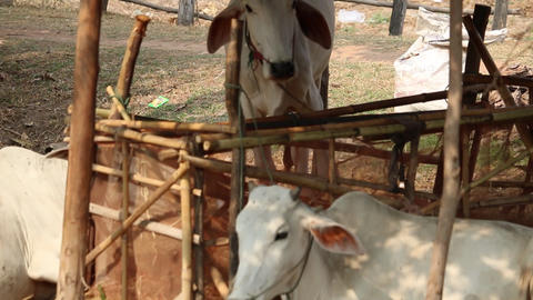 Cambodia skinny white cows cattle tied up Live Action