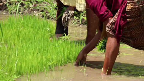 Indonesia farmers harvesting plants, rice on a field Live Action