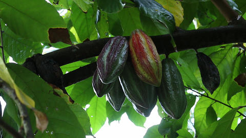 Cacoa Cacao plant Indonesia Live Action