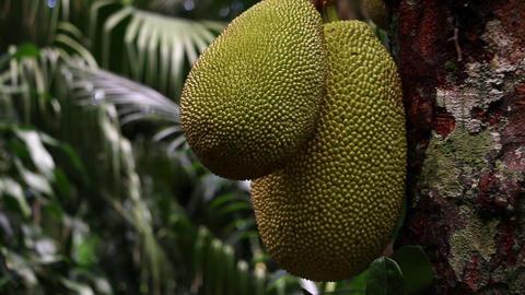 Jackfruit Artocarpus heterophyllus closeup shot in tropical garden Footage
