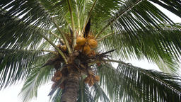 Coconut tree with coconuts Footage
