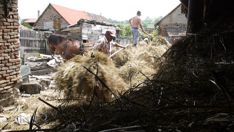 Men who move hay which is brought in a cart in a barn yard 12c Footage